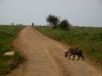 hyena walks alone