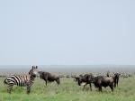 with zebra friends