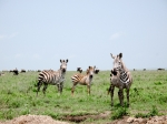 zebra of the migration